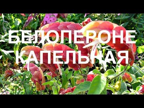 Белопероне - красивое комнатное растение