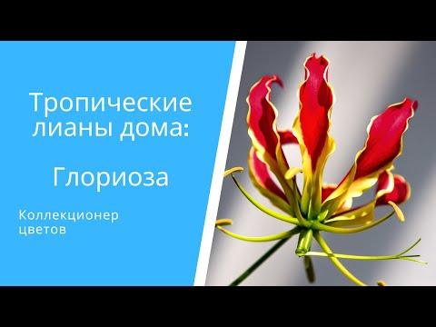 Год жизни Глориозы за 5минут: зимовка, посадка, цветение