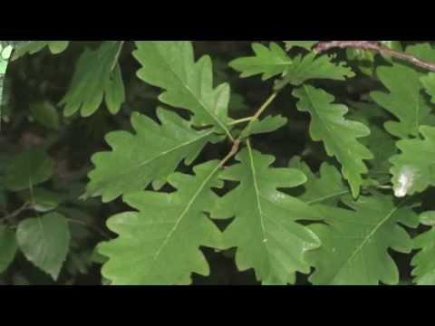 Энергетическое целительство. Дуб - священное дерево, его целительные свойства.