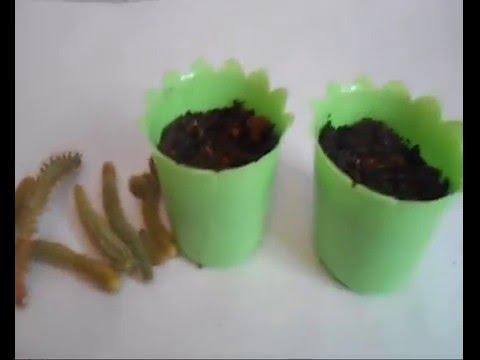 Апорокактус плетевидный Aporocactus flagelliformis