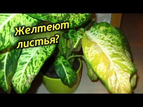 Почему желтеют листья у Диффенбахии? Причины пожелтения листьев.