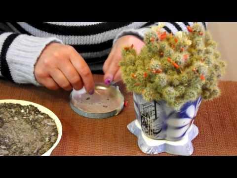 Маммилярия (кактус) из семян