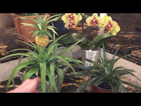 Выращивание ананаса в домашних условиях. Размножение ананаса. Собираем урожай!