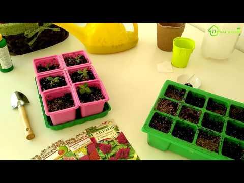 ЦЕЛОЗИЯ - выращивание из семян