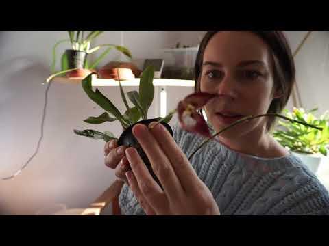 Выращиваем орхидею дракулу в домашних условиях