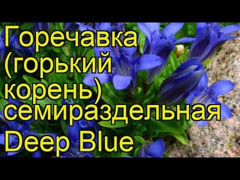 Горечавка семираздельная Deep Blue. Краткий обзор, описание характеристик, где купить саженцы