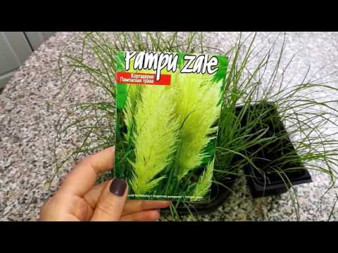 Кортадерия.Пампасная трава.1