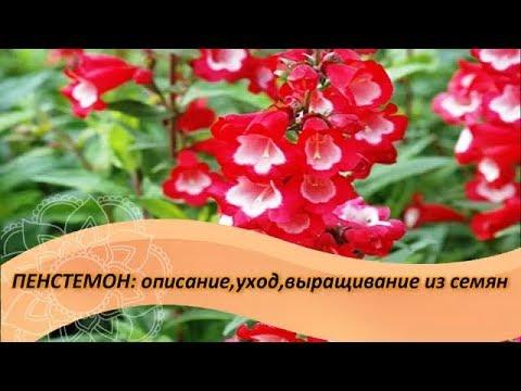 Пенстемон: описание,уход,выращивание из семян. Посадите в саду этот неприхотливый многолетник!