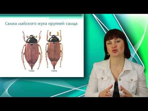 Майский жук. Отряд жесткокрылые. Класс насекомые. Уроки Биологии Онлайн