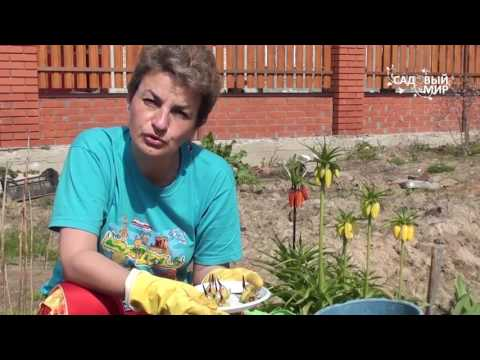 """Как выращивать ацидантеру – душистый гладиолус. Сайт """"Садовый мир"""""""