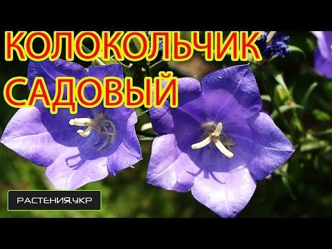 Колокольчик садовый / Ширококолокольчик / Платикодон из семян