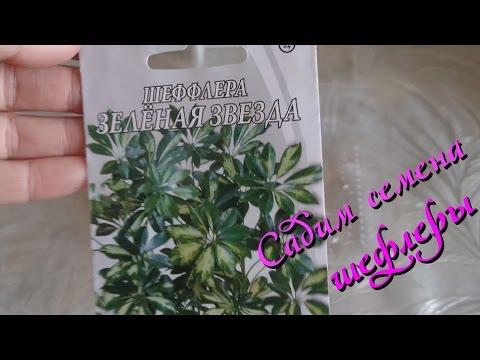Шеффлера (Schefflera) : выращивание из семян в домашних условиях.Часть 1-я