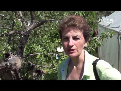 """Почему засыхают яблони Черный рак яблони. Сайт """"Садовый мир"""""""