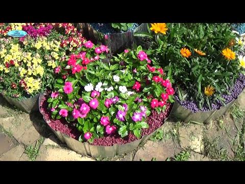 Однолетние цветы, которые цветут без перерыва всё лето!