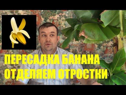 Пересадка комнатного банана. Как отделить отростки (детки) от банана?