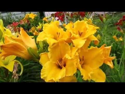 Цветы. Лилейник. Лилейники в моём саду - продолжение.