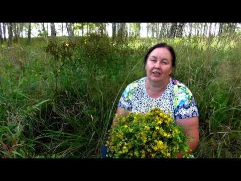 ЗВЕРОБОЙ ПРОДЫРЯВЛЕННЫЙ || Трава от 99 болезней