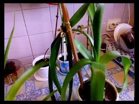 Индийский лук.Настойка на водке.