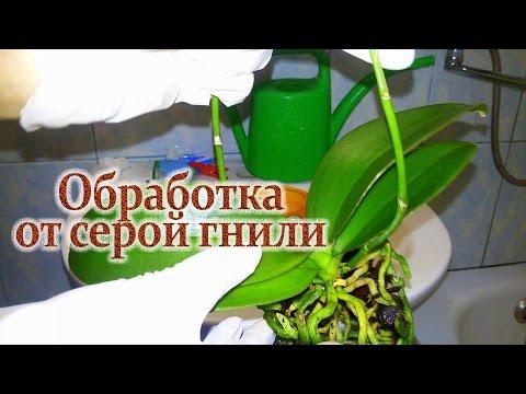 Как спасти орхидею от СЕРОЙ ГНИЛИ/ Часть № 2