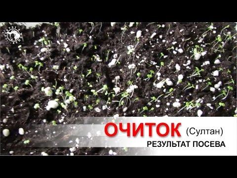 "Очиток ""Султан"" посев семян. Результат посева."