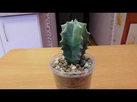 Новый питомец - кактус лемэроцереус