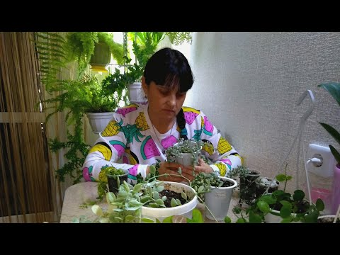 #Мои_комнатные_растения_2021 // Мои Дисхидии // Уход и содержание