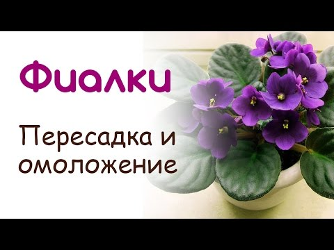 Фиалка сенполия, Пересадка и омоложение