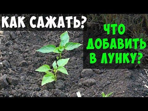 ПОСАДКА ПЕРЦА В ОТКРЫТЫЙ ГРУНТ / ЧТО ДОБАВИТЬ В ЛУНКУ ПРИ ПОСАДКЕ !!!