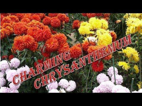 #Хризантемы. Фото элитных сортов с названиями.