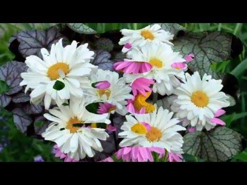 Нежная садовая ромашка в вашем саду