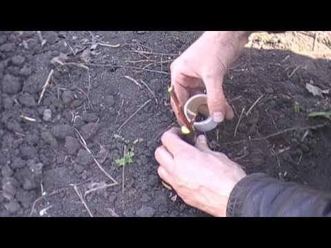 Выращивание саженцев черешни(Прививка черенком)