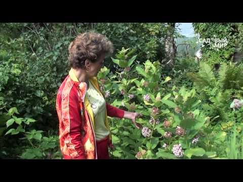 """Неприхотливые растения для сада Ароматный ваточник. Сайт """"Садовый мир"""""""