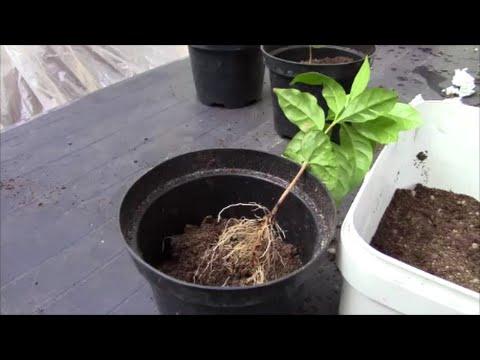 Кофейное дерево как пересадить и рассадить!? Часть 1.