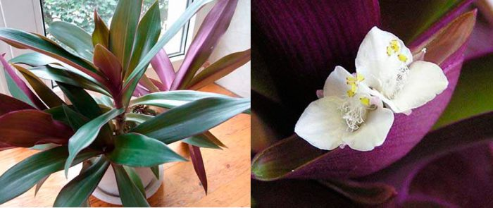 Рео цветок