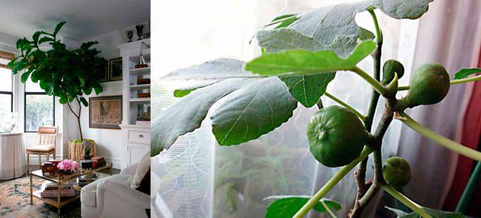 Инжир (фиговое дерево) — выращивание в домашних условиях