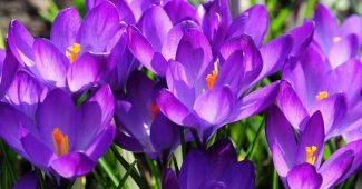 Крокус цветы