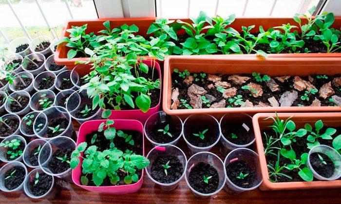 Выращивание рассады цветов