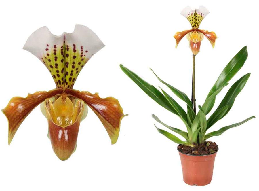 Орхидея Венерин Башмачок уход в домашних условиях