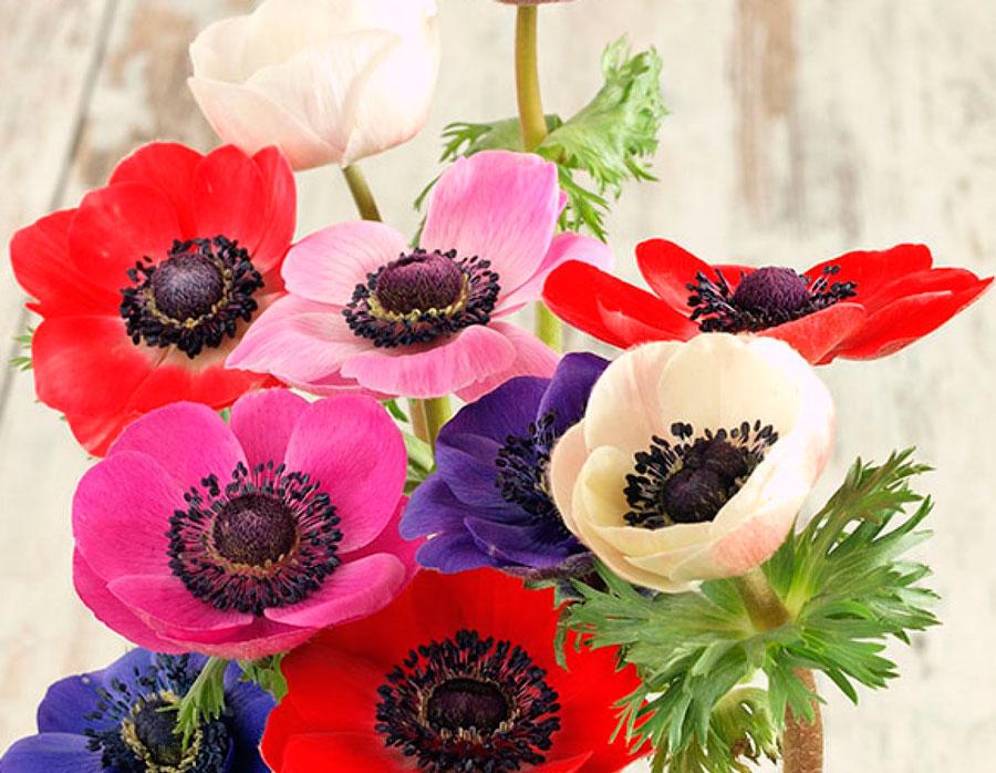 Анемоны посадка осенью клубнями и уход в открытом грунте
