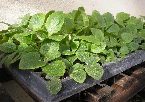 Выращивание наперстянки из семян