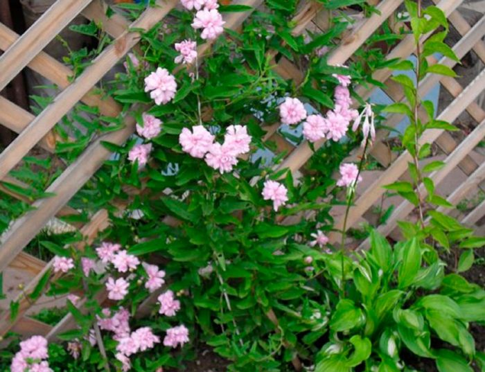 Калистегия: выращивание и уход