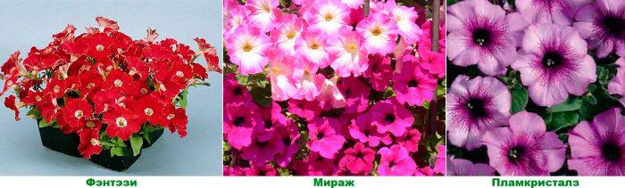 Многоцветковые петунии (мультифлора)