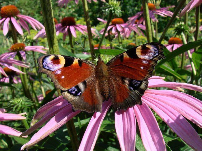 Эхинацея бабочка