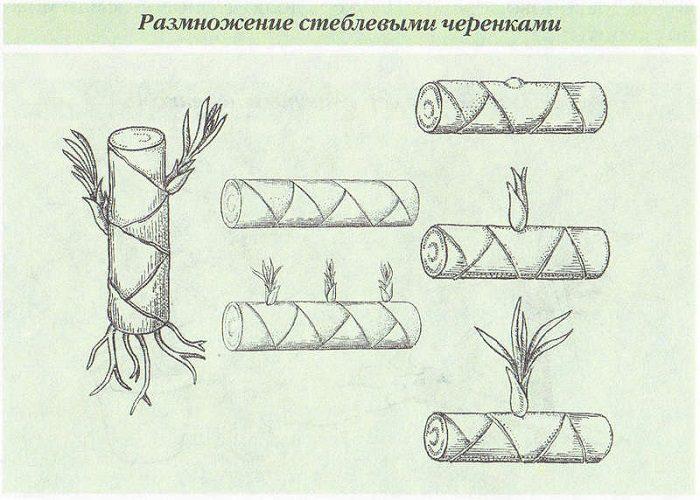 стеблевыми черенками