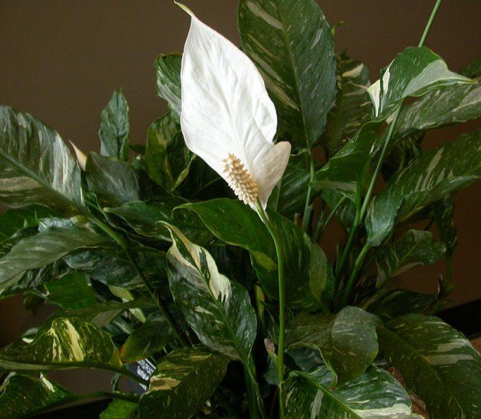 Спатифиллум геликониелистный (Spathiphyllum heliconiifolium)
