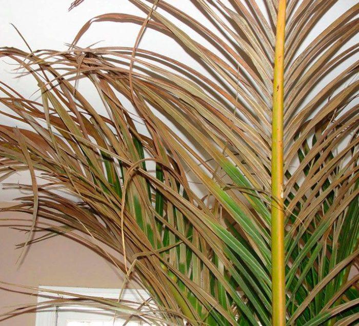 Финиковая пальма желтеет