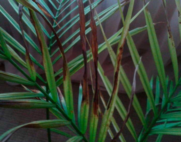 Листья финиковой пальмы темнеют