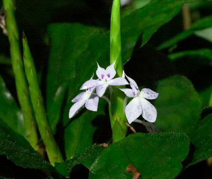 Кроссандра гвинейская