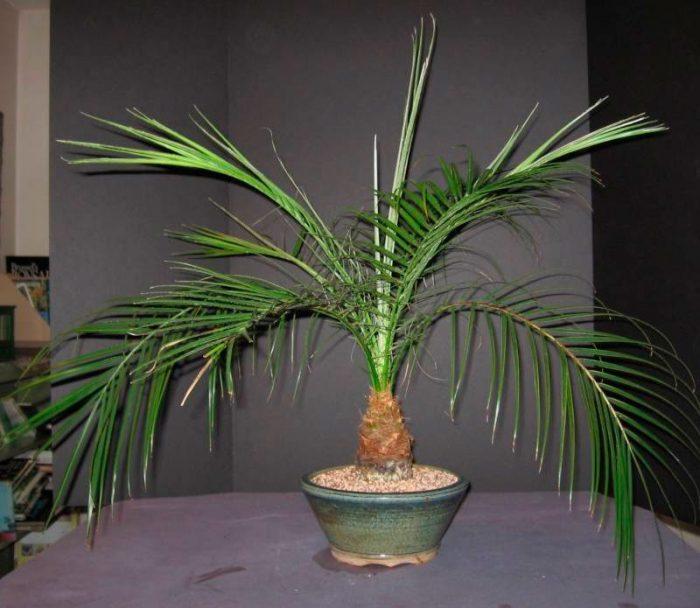 Финиковая пальма не растет