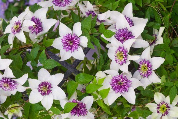 Клематис цветистый (Флорида)